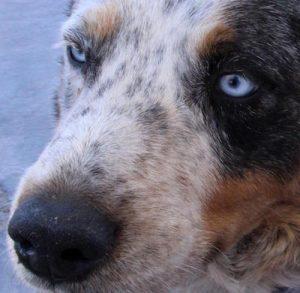 blue dog closeup